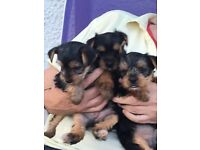 BEAUTIFUL YORKSHIRE TERRIER PUPPIES FOR SALE.