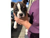 3/4 Boston Terrier Pups (1 Dog Left)