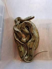 pair of cb14 hybrid beauty snakes