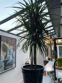 Lovely and pretty big Indoor plant comes with a beautiful ceramic pot