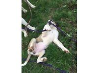 beautiful ST Bernard puppy girl for sale