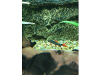 FREE rainbow shark fish aquarium tropical