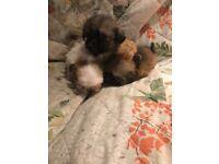 Zuchons puppys