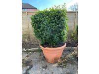 Large common box hedge garden plant pot
