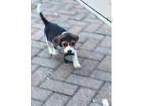 Beagle pups kc registered