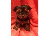 Mini Yorkshire Terrier Puppies 1 girl 1 boy