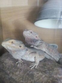 Two bearded dragons comes with set up want to sell together