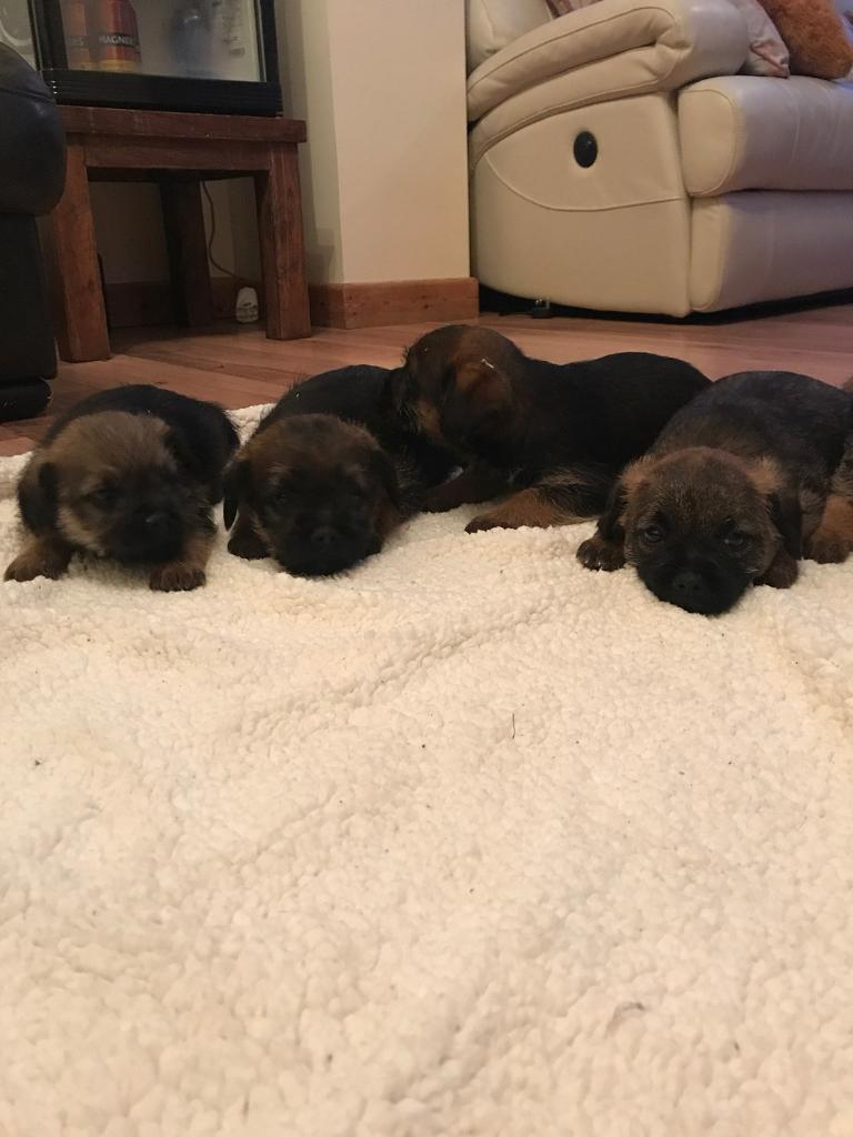 Border Terrier Pups | in Swansea | Gumtree | Border Terrier Puppies For Sale Swansea