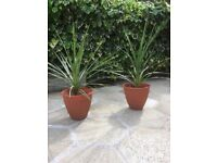 2 Palm Trees Potted