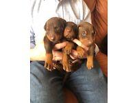 Chocolate Doberman puppies