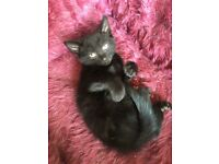 Beautiful pedigree mix male kitten