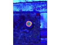Sunny d zoa coral for marine fish aquarium