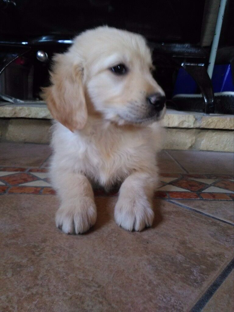 Golden Retriever Puppies In Omagh County Tyrone Gumtree