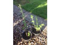 Gooseberry, Rasp or Cranberry Plant
