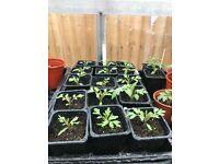 Gardeners delight tomato plants