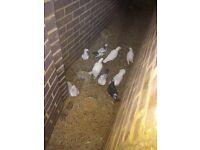 White dove pigeons