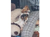 Jack russels for sale