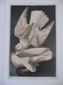 Traditional Bird Prints ( quantity 30)