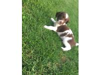 Stunning English Springer Pups