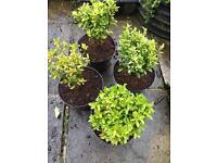 Euonymus 4 plants for £15