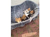 Adorable Jackawawa puppies