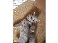 Beautiful GCCF registered kittens