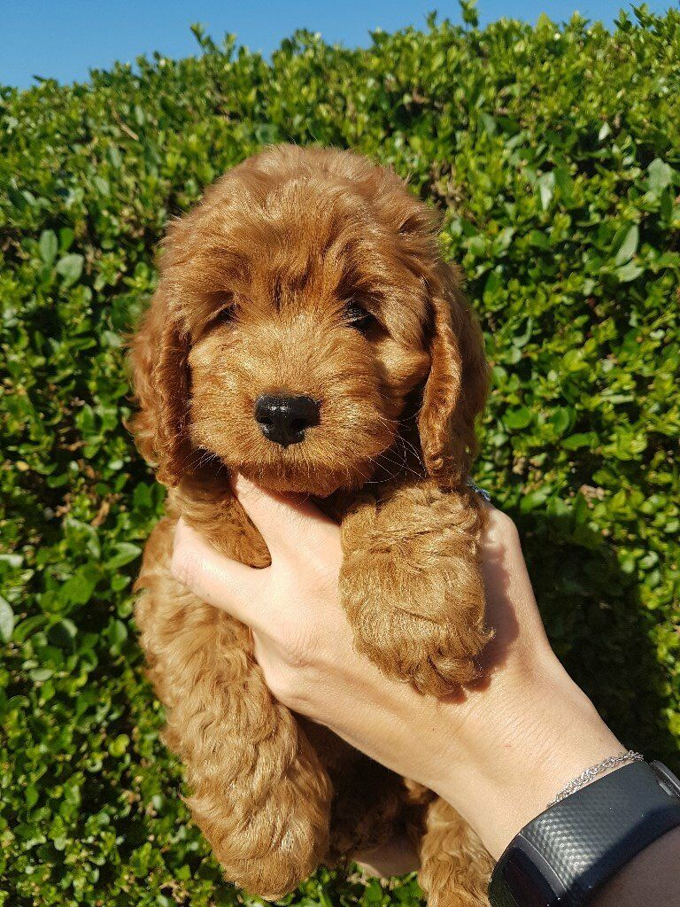 Red F1b Cockapoo Puppies for sale | in Frodsham, Cheshire | Gumtree