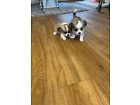 Beautiful long haired pedigree chihuahua puppies for sale £1800 Ono