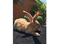 Stunning pure breed giant continental rabbits