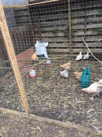 Chickens (various)