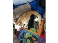 Chihuahua puppy female Black and Tan