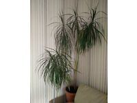 big House plant for sale.