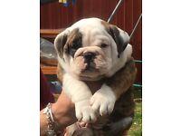 English Bulldog Puppies KC Registered