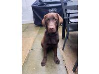 Beautiful Chocolate Labrador - 6.5 months