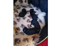 TOY POODLE PUPPIES **PRA Clear**