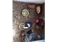 Baby guniea pigs