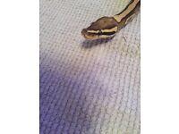 Royal python fire male