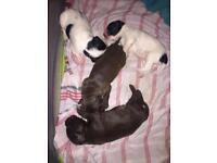 Bedlington X Springer Spaniel puppies