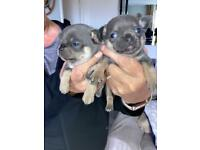 Chihuahua pups blue kc reg