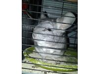 Lovely male chinchilla with cage looking for loving home.