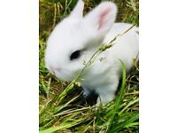 Baby bunny rabbit for sale