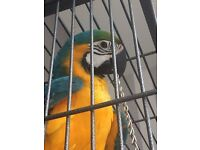 BEAUTIFUL LOVEABLE 1 YEAR OLD MACAW