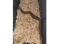 Hognose snakes het snow