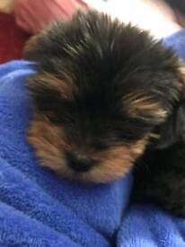 One puppy yorkie ready for new home
