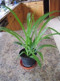 HOUSEPLANT POTTED SPIDER PLANT
