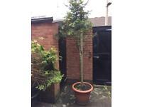 Pine tree H 3.5-4m