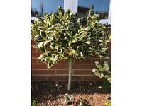 SMALL STANDARD GOLDEN KING HOLLY TREE