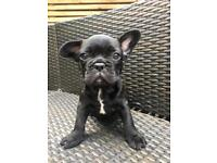 KC REG FRENCH BULLDOGS READY TO LEAVE NOW