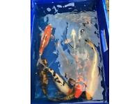 Lots of cheap fish for koi pond