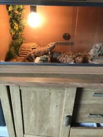 Breaded dragon and 3ft set up